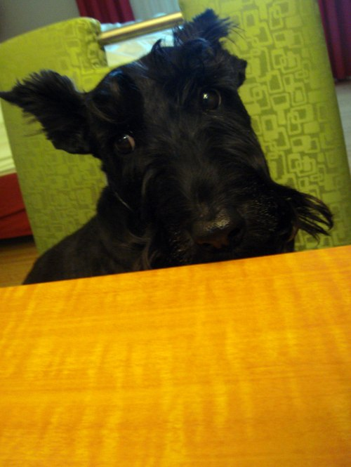 No more treats for a Scottie this cute?