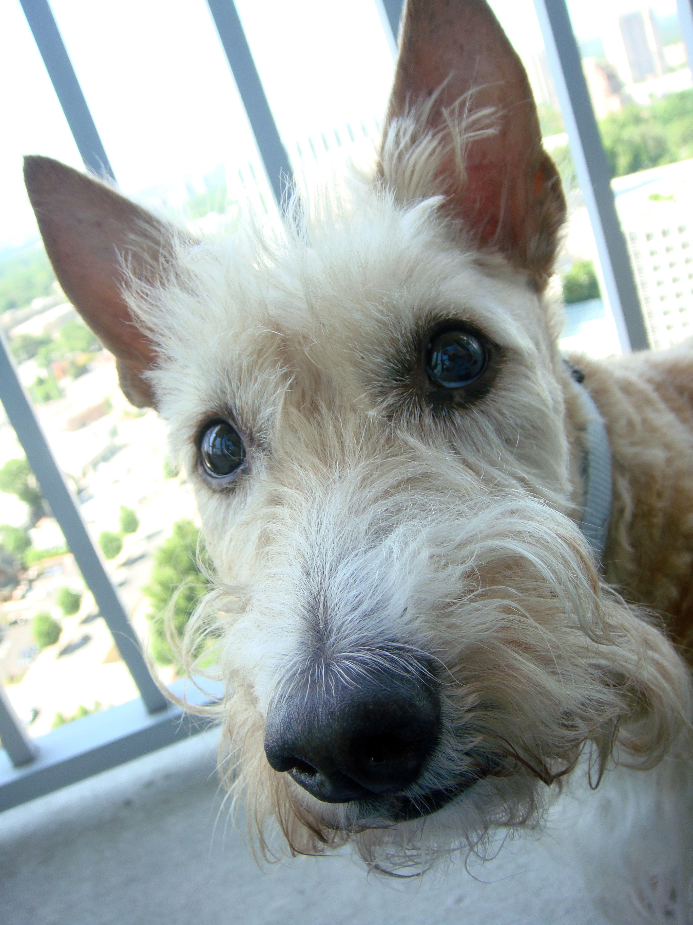 scottish terrier health issues scottie mom